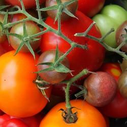 Surprise Packung Tomaten